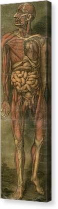 Visually Sensational Anatomical Canvas Print by Everett