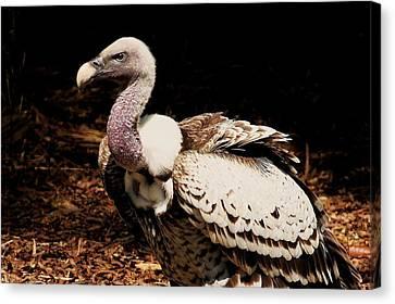 Vulture Canvas Print by Paulette Thomas