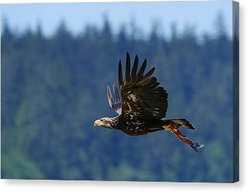 Wa-6-12-neah Bay-eagleimm2 Canvas Print by Diana Douglass