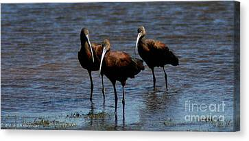Canvas Print featuring the photograph Waiding Ibis by Mitch Shindelbower
