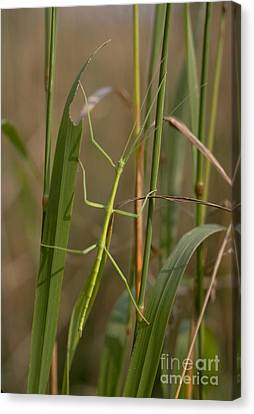 Walking Stick Insect Canvas Print by Ted Kinsman