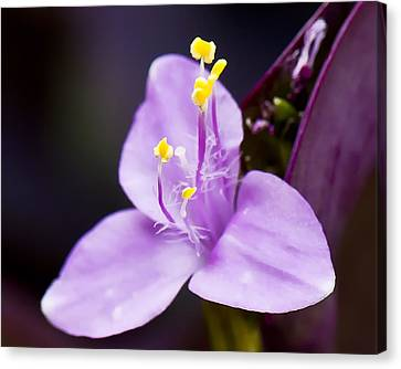 Wandering Jew  Beauty's Queen  Canvas Print by Michael Putnam