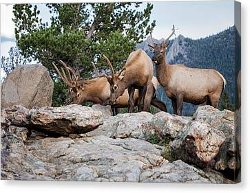 Wapiti Canvas Print by Ronald Lutz