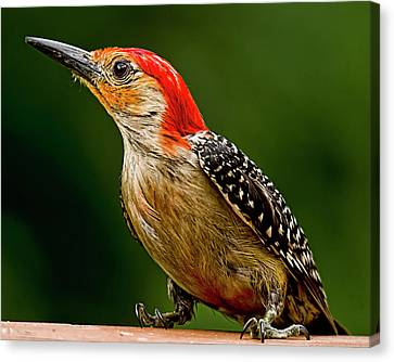 Wary Red-belly Canvas Print by Michael Putnam