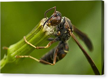 Wasp Eating Canvas Print by Dean Bennett