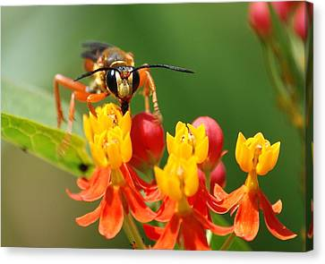 Wasp Canvas Print by Kathy Gibbons