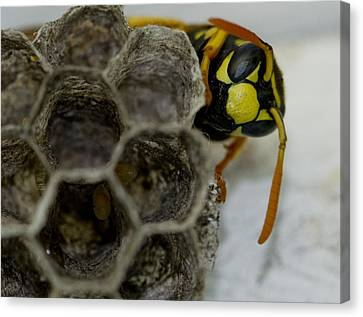Wasp Nest Canvas Print by Dean Bennett