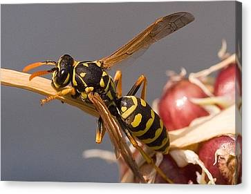 Wasp On Garlic Canvas Print