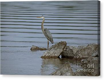 Canvas Print featuring the photograph Watchful by Eunice Gibb