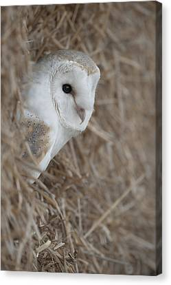 Watchfull Barn Owl Canvas Print by Andy Astbury