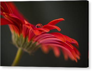 Water Drop On A Red Gerbera Flower Canvas Print by Pixie Copley