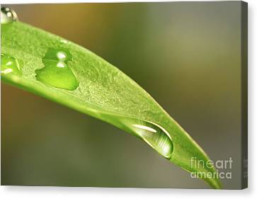 Water Droplets On A Lily Leaf Canvas Print by Sandra Cunningham