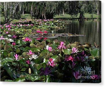 Water Lilies In The St. Lucie River Canvas Print by Sabrina L Ryan