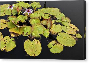 Water Lillies And Pads Canvas Print by Forest Alan Lee
