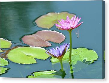 Water Lillies Of A Different Color Canvas Print by Kathy Gibbons