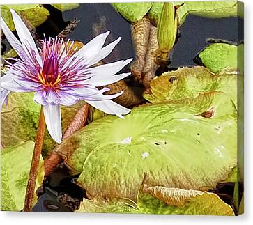 Water Lilly Close Up Canvas Print by Forest Alan Lee