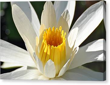 Canvas Print featuring the photograph Water Lilly by Jodi Terracina