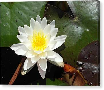 Water Lily 1 Canvas Print by Tanya Moody