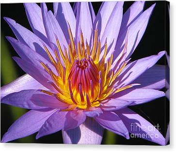 Water Lily 6 Canvas Print by Eva Kaufman