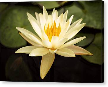 Waterlily Canvas Print - Water Lily by Darren Fisher