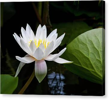Water Lily In Morning Sun Canvas Print