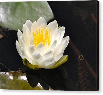Water Lily Canvas Print by Mary McAvoy