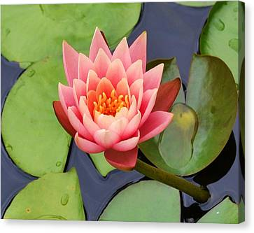 Water Lily Canvas Print by Mary Zeman