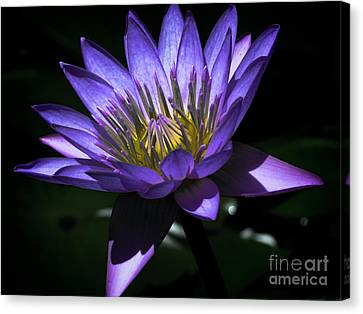Water Lily  Reveal Canvas Print by Karen Lewis