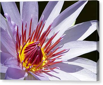 Water Lily Soaking Up The Sun Light Canvas Print by Sabrina L Ryan