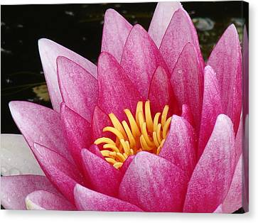 Waterlily Close-up Canvas Print by Nicola Butt
