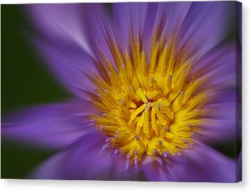 Waterlily Canvas Print - Waterlily Zoom by Susan Candelario
