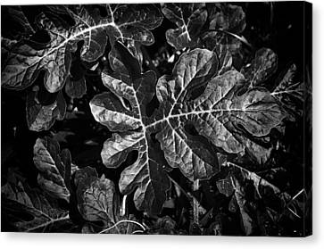 Watermelon Leaves Canvas Print by Tom Bell