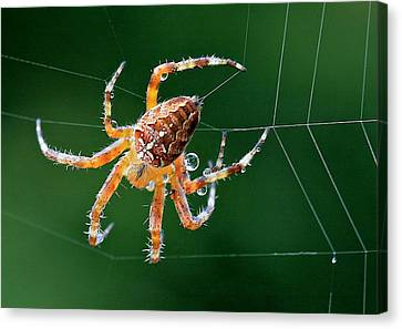 Web Maker Canvas Print by Scott Holmes