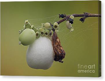 Canvas Print featuring the photograph Webbed Berry by Eunice Gibb