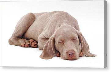 Weimaraner Puppy Canvas Print by Jane Burton