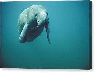 West Indian Manatee Trichechus Manatus Canvas Print by Tui De Roy