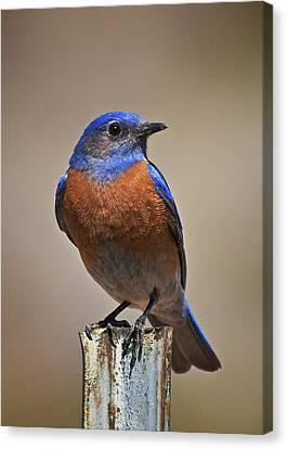 Canvas Print featuring the photograph Western Bluebird by Britt Runyon