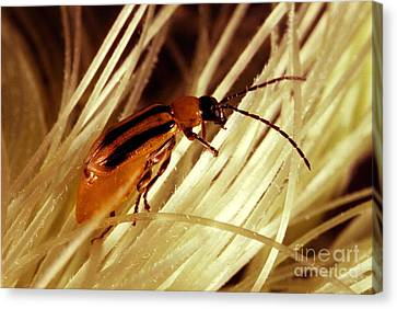 Western Corn Rootworm Beetle Canvas Print by Science Source