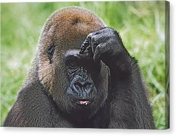 Western Gorilla Portrait With Finger On Canvas Print by David Ponton