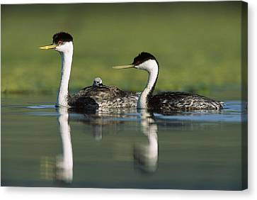 Western Grebe Couple With One Parent Canvas Print by Tim Fitzharris