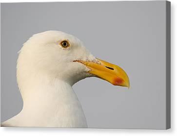 Western Gull In Breeding Plumage Canvas Print
