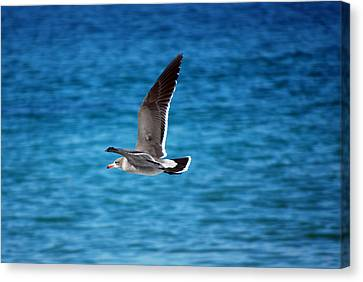 Canvas Print featuring the photograph Western Gull In Flight by Harvey Barrison