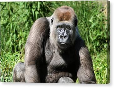 Ape Canvas Print - Western Lowland Gorilla Female by Julie L Hoddinott