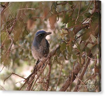 Western Scrub Jay Canvas Print by Chris Hill