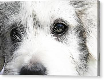 Westie Canvas Print by Tilly Williams