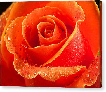 Wet Rose Canvas Print by Jean Noren