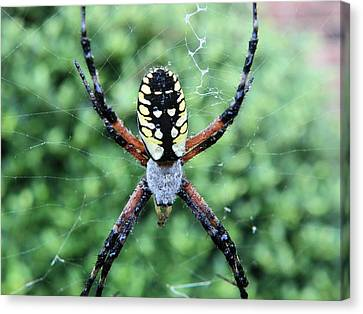 Canvas Print featuring the photograph Wet Writing Spider by Chad and Stacey Hall