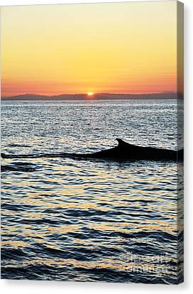 Whale At Sunset Canvas Print by Timothy OLeary