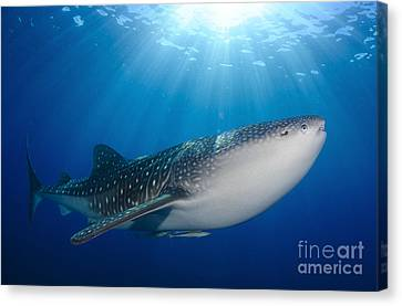 Whale Shark Feeding Under Fishing Canvas Print by Steve Jones