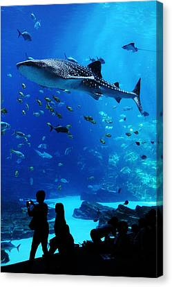 Whale Shark Fly-by Canvas Print by Brian M Lumley